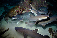 whitetip reef sharks, Triaenodon obesus, hunting on the reef at night, cocos island, costa rica, pacific ocean
