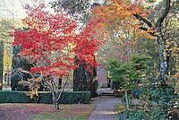 Japanese maple tree, Acer palmatum in Filoli garden, California