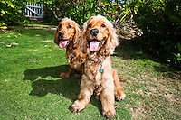 A pair of English Cocker Spaniels sitting and posing for a portrait
