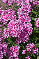 Phlox paniculata 'Miss Ellie' (51) pink with darker pink eye