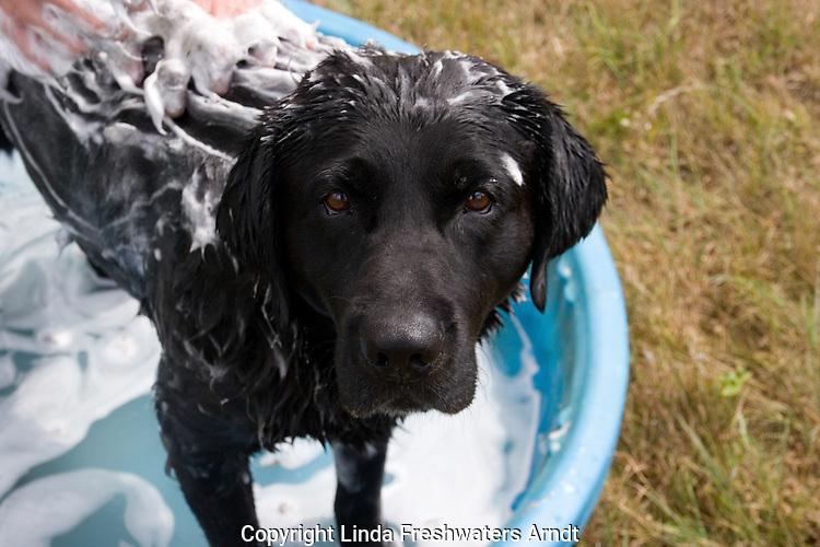 Black Labrador retriever (AKC) getting a bath in a kiddy pool.  Summer. Winter, WI.