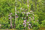 Rhododendrons in bloom in the forest at the Shawmee-Crowell State Forest, Sandwich, Cape Cod, Massachusetts, USA