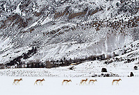 A herd of pronghorns walks across farm and ranch land outside of Yellowstone.