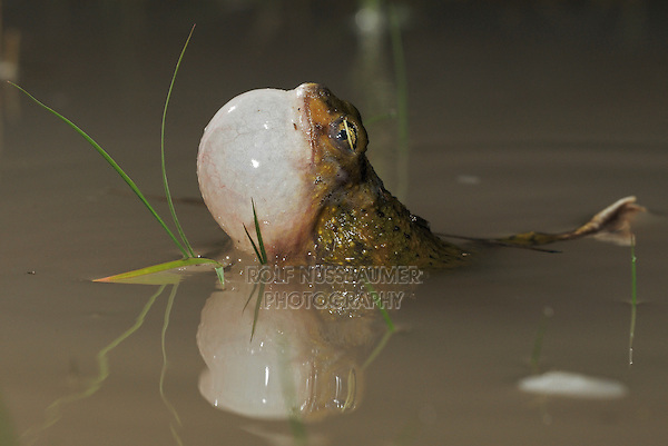 Couch's Spadefoot (Scaphiopus couchii), adult at night calling, Laredo, Webb County, South Texas, USA