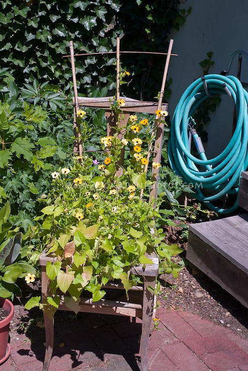 Annual Thunbergia clock vine in bloom, Hydrangea quercifolia Oak Leaf Hydrangea, Hedera, garden hose, brick patio, steps, charming rocker chair planter pot container