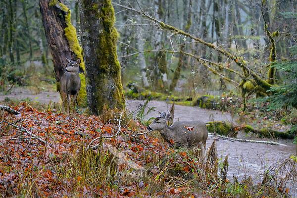 Columbian black-tailed deer (Odocoileus hemionus columbianus) does on rainy fall day.  Olympic National Park, WA.  November.