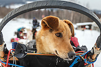 """Anna Bertington's dog """"Delta"""" rides in the basket as she arrives at the Takotna checkpoint during Iditarod 2016.  Alaska.  March 09, 2016.  <br /> <br /> Photo by Jeff Schultz (C) 2016  ALL RIGHTS RESERVED"""