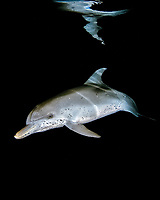 Spotted dolphin Stenella frontalis at night Atlantic Ocean Bahamas