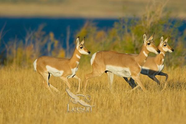 Pronghorn (Antilocapra americana) does running.