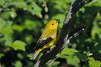 Yellow Warbler (Dendroica petechia). Great Lakes region. May.