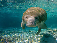 Florida manatee (Trichechus manatus latirostris, a subspecies of West Indian manatee, Trichechus manatus), Three Sisters Springs, Crystal River, Florida, USA