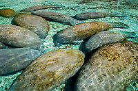 Florida manatee, Trichechus manatus latirostris, quietly rest in an established manatee sanctuary near the Three Sisters Springs in Crystal River, Florida (do)