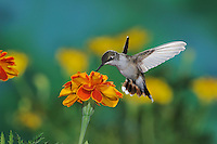 Black-chinned Hummingbird (Archilochus alexandri), female in flight feeding on Marigold (Tagetes sp.), Gila National Forest, New Mexico, USA