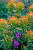 Suksdorf's paintbrush and Columbia larkspur<br /> Canyon Creek Meadows<br /> Mt. Jefferson Wilderness,  Deschutes National Forest<br /> Cascade Range,  Oregon