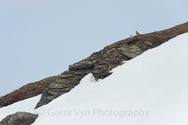 Pair of adult Gyrfalcons (Falco rusticolus) perched on a tundra hill side. Pair consists of a white-morph male and a dark-morph female. Seward Peninsula, Alaska. May.