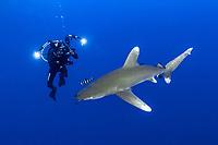 Oceanic whitetip shark, Carcharhinus longimanus, ,Vulnerable endangered species, Weisspitzenhochsee Hai, pilot fish, Naucrates ductor, diver, underwater, photographer, Brother Island, Egypt, Red Sea