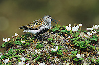 Dunlin, Calidris alpina,adult calling, Gednjehogda, Norway, June 2001