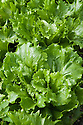 Lettuce 'Reine de Glace', late August. A crisphead or iceberg lettuce also known as 'Ice Queen'