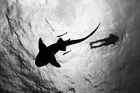 black and white silhouette of a nurse shark (Ginglymostoma cirratum) near a diver at Esmerelda's Reef, Belize, Caribbean, Atlantic