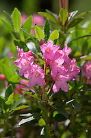 Bewimperte Alpenrose, Behaarte Alpenrose, Almrausch, Rhododendron hirsutum, Hairy Alpen Rose, Rhododendron pubescent, Rhododendron cilié