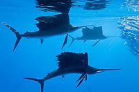 Sailfish hunts Sardines, Istiophorus albicans, Isla Mujeres, Yucatan Peninsula, Caribbean Sea, Mexico, Atlantic
