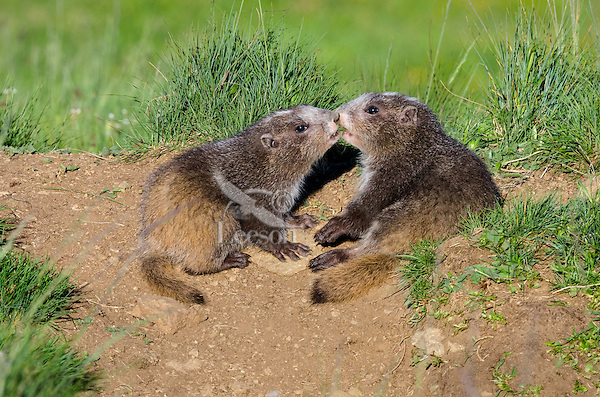 Olympic Marmots (Marmota olympus)--young pups greeting one another near den.  Olympic National Park, WA.  Summer.