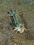 A peacock mantis shrimp out on the sand stops to examine the photographer.