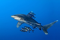 Oceanic Whitetip Shark, Carcharhinus longimanus, with Pilot Fish, Naucrates ductor, in blue water at Brother Islands, Egypt, Red Sea.