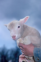 Lamb on Farm, Fraser Valley, Southwestern BC, British Columbia, Canada
