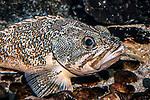 Blackbelly Rosefish facing right
