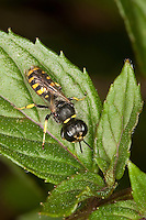 Grabwespe, Ectemnius spec., Sphecidae, Sphegidae<br /> Grabwespen, digger wasps, hunting wasps