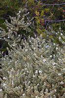 Westringia brevifolia (Small-leafed Westringia) shrub, variegated form, University of California Santa Cruz Botanic Garden