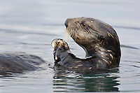 Sea Otter (Enhydra lutris) feeding on clam--first breaks them apart.