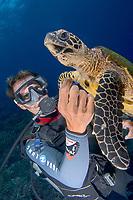 scuba diver watches hawksbill sea turtle, Eretmochelys imbricata, Papette, Tahiti, French Polynesia, Pacific Ocean