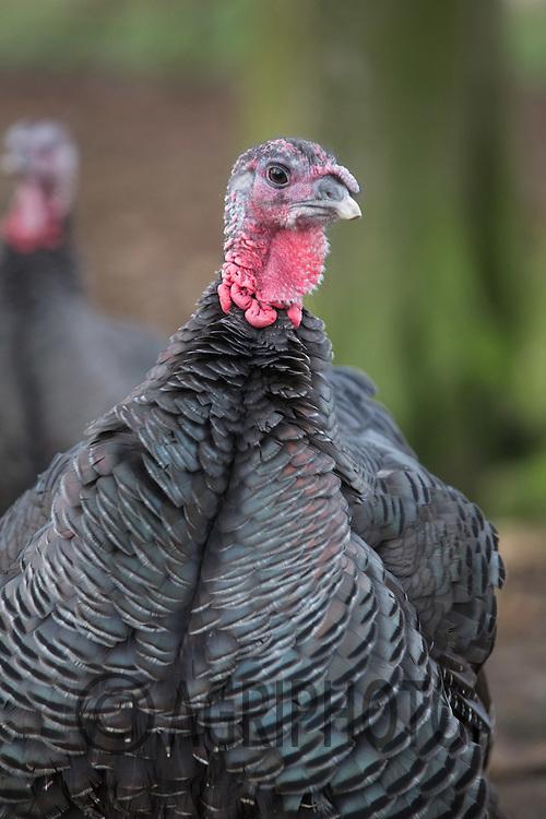 Bronze Turkeys in woodland<br /> Picture Tim Scrivener 07850 303986<br /> tim@agriphoto.com<br /> ….covering agriculture in the UK….