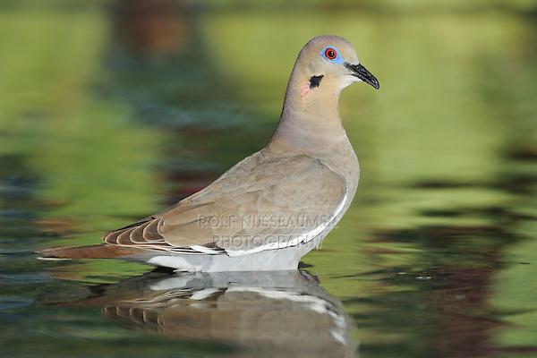 White-winged Dove (Zenaida asiatica), adult standing in water, Dinero, Lake Corpus Christi, South Texas, USA