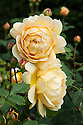 Rosa Golden Celebration ('Ausgold'), early June. A fragrant, golden apricot-yellow shrub rose introduced by David Austin in 1992, bred from 'Charles Austin' and 'Abraham Darby'.