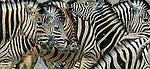 Burchell's zebra, Ongava Game Reserve, Namibia
