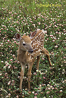 MA11-037z  White-tailed Deer - fawn camouflaged in flowered field - Odocoileus virginianus
