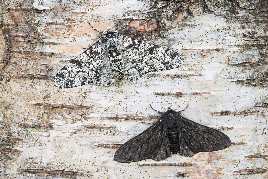 Peppered Moth {Biston betularia} showing a comparison of the melanic form f. carbonaria next to the typical paler form. The melanic form has long been cited by genetic studies as an example of industural melanism. Sooty deposits on trees and other surfaces meant that the darker form was better camouflaged and more successful in industrial areas of Northern England. In recent decades air quality has imporved to the extent that the melanic form is declining in these areas and is now less frequently encountered than the typical form. Peak District National Park, Derbyshire, UK. July.
