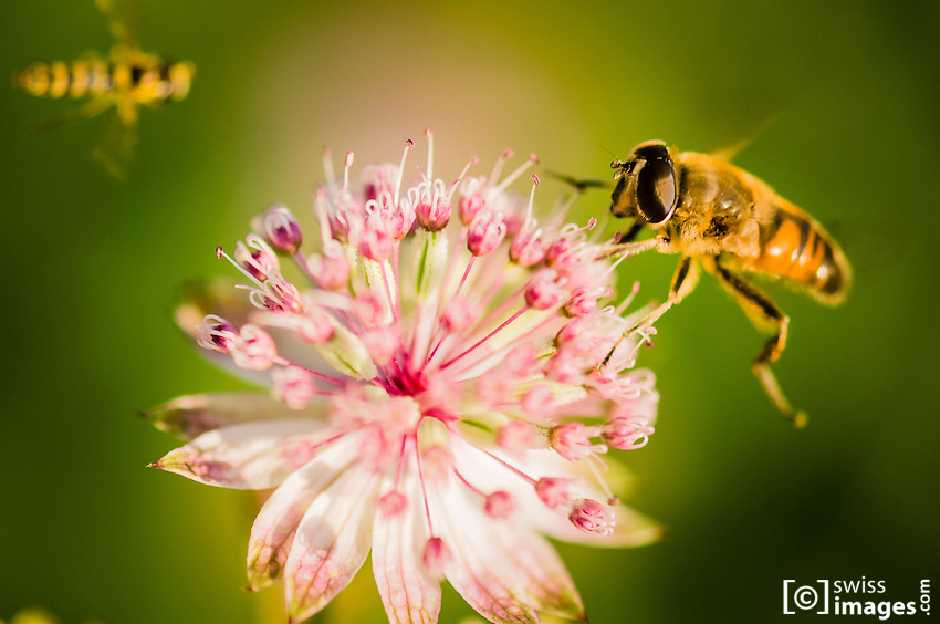 two bees flying over a flower