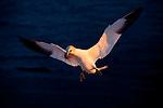 Europa, DEU, Deutschland, Schleswig-Holstein, Deutsche Bucht, Helgoland, Natur- und Vogelschutzgebiet Lummenfelsen, Basstoelpel, Sula bassana, Der Lummenfelsen auf der Nordseeinsel Helgoland ist das kleinste Naturschutzgebiet Deutschlands. Es ist der einzige Brutplatz in Deutschland fuer den Basstoelpel. Weitere bekannte Brutgebiete dieser Toelpelart sind der Vogelfelsen von Látrabjarg auf Island, wo einige Millionen Seevoegel leben - u.a auch Papageientaucher und Lummen, sowie die unbewohnte Insel Bass Rock bei Schottland., Kategorien und Themen, Tiere, Tier, Wildtiere, Tierfoto, Tierfotos, Tierphoto, Tierphotos, Tierfotografie, Tierphotographie, Wildlife, Tourismus, Touristik, Touristisch, Touristisches, Urlaub, Reisen, Reisen, Ferien, Urlaubsreise, Freizeit, Reise, Reiseziele, Ferienziele<br /> <br /> [Fuer die Nutzung gelten die jeweils gueltigen Allgemeinen Liefer-und Geschaeftsbedingungen. Nutzung nur gegen Verwendungsmeldung und Nachweis. Download der AGB unter http://www.image-box.com oder werden auf Anfrage zugesendet. Freigabe ist vorher erforderlich. Jede Nutzung des Fotos ist honorarpflichtig gemaess derzeit gueltiger MFM Liste - Kontakt, Uwe Schmid-Fotografie, Duisburg, Tel. (+49).2065.677997, archiv@image-box.com, www.image-box.com]
