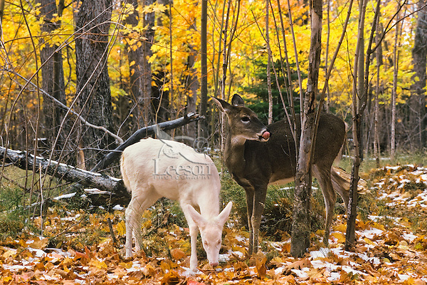 Albino white-tailed deer with normal colored deer.  Fall.  Upper mid-west.