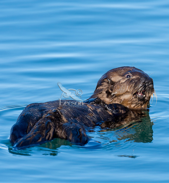 Young Sea Otter (Enhydra lutris) pup.  Central California Coast.