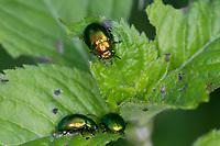 Minzeblattkäfer, Minze-Blattkäfer, Minzenblattkäfer, Minzen-Blattkäfer, Grüner Minzenblattkäfer, Grüner Minzenblatt-Käfer, Minzblattkäfer, Minz-Blattkäfer, frisst an Wasserminze, Chrysolina herbacea, Chrysolina menthastri, Chrysomela herbacea, Mint Leaf Beetle, green mint beetle, la chrysomèle de la menthe