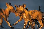 Wild Dogs, Kwando, Botswana