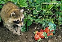 MA22-004x  Raccoon - young raccoon exploring garden, finding strawberries - Procyon lotor
