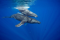 humpback whale, Megaptera novaeangliae, socializing, Big Island, Hawaii, USA, Pacific Ocean