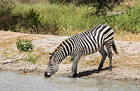 Grant's Zebra, Equus quagga boehmi, drinks from a pond in Tarangire National Park, Tanzania