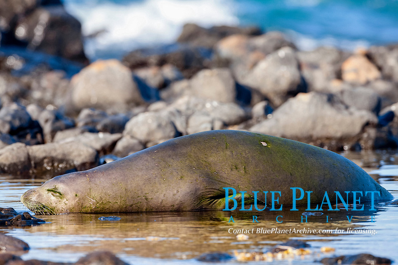 Hawaiian Monk Seal Sleeping, Neomonachus schauinslandi, critically endangered, endemic, Ka'ena Point State Park, Oahu, Hawaii, USA, Pacific Ocean